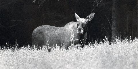 DYRELIV: Skogens konge, elgen, viser seg av og til også ute i jordbruksstrøkene i LARVIK. Forskremte elgkalver er til og med observert i bygatene i Larvik. (Foto: Bjørn Jakobsen)