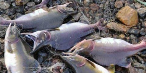 ENORME MENGDER: Det har blitt lagt ned en voldsom dugnadsinnsats av Nesseby jeger- og fiskerforening i sommer. De har tatt ut over 20.000 pukkellaks i Vesterelva.