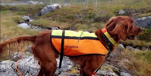 LEO: Den ett år gamle irsksetteren Leo. Finner du hunden, så står eieren Kjersti sitt telefonnummer på refleksvesten.