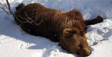 Denne bjørnen ble skutt av Statens Naturoppsyn i Grane i 2014. (Arkivfoto)