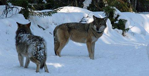 Skal merkes: Ulvene i Mangenreviret skal spores og merkes de neste dagene. Foto: LARS GANGÅS/SNO