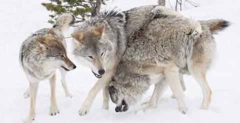 Ikke skremt: Prisen for å overnatte i  Wolf Lounge skremmer ikke turistene.