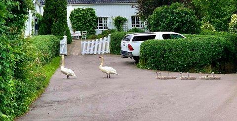 SVANER: To voksne og åtte små. Familien holder til på Falkensten.