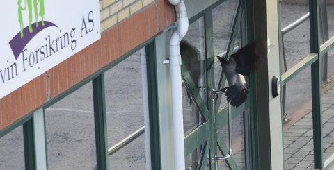 Terrorkråka: Stuper inn mot vinduer og dører og hakker i vei. ARKIVFOTO.