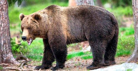 IKKE FUNNET: Den skadeskutte svneskebjørnen er ikke funnet ennå.