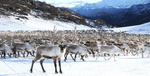 UNIK RÅVARE: Tamreinlagene i Jotunheimen søker om å få reinsdyrkjøtt godkjent i den strengeste kvalitetsmerkeordningen som finnes.