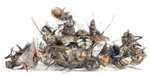 Kunst: Gjennom hele sommeren og høsten dør fluer rundt meg. Deres død er litt «teatralsk», de gjemmer seg ikke for å dø i stillhet, de lager en panisk forestilling på vinduets scene og dør i rampelyset i vinduskarmen. Der finner jeg de fleste, forteller Jadwiga som ser skjønnhet i bildet de døde fluene har skapt. Hennes utstilling på Universitet er åpen lørdag.
