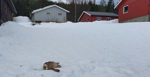 Mandag morgen oppdaget beboere i boligfeltet Skolehagen i Hedalen et hodeløst rådyr midt i feltet.