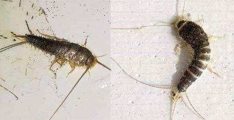 PLAGSOMME KRYP: På tross av at skjeggkre i utgangspunktet ikke påfører hus og hjem noen skade, slik for eksempel veggdyr og termitter gjør, har de nå blitt klassifisert som et skadedyr. Foto: PELIAS Norsk Skadedyrkontroll