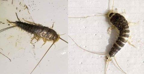 PLAGSOMME KRYP: På tross av at skjeggkre i utgangspunktet ikke påfører hus og hjem noen skade, slik for eksempel veggdyr og termitter gjør, har de nå blitt klassifisert som et skadedyr.