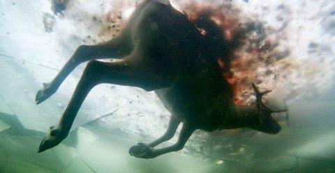 MISTET KUNN ETT DYR:Mikkel Mathis Hætta er glade for at det ikke døde flere dyr, da flokken på rundt tusen dyr gikk gjennom isen. Dette bildet er tatt av et undervannskamera som ble brukt for å se om det var flere dyr som hadde druknet.