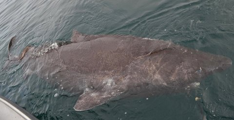 HÅKJERRING: Haien ble målt før den ble sluppet fri