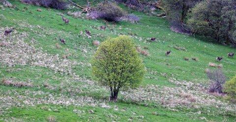 De vakre dyrene beitet på gressmarken, rundt 100 meter fra veien.