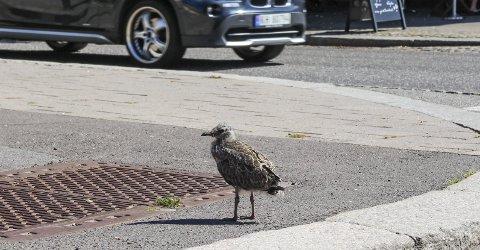 MÅKEUNGE: En sårbar krabat inntil den er flyvedyktig.