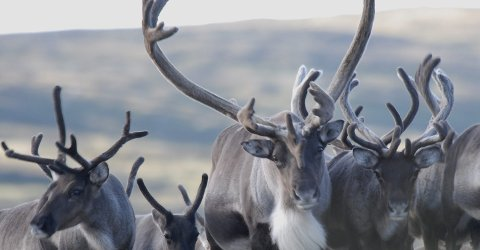 Villrein: Hardangervidda villreinutval har no kome med si anbefaling om kva jakttid og jaktkvote bør vere under jakta til hausten. arkivfoto: Olav Strand