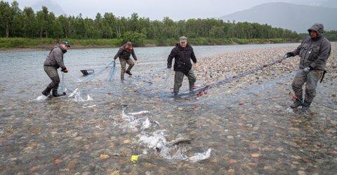 I FRONTLINJEN: Frivillige har nedlagt en stor innsats for å fiske ut pukkellaksen i Troms og Finnmark denne sommeren. Her fra utfiske i Reisaelva i juli.