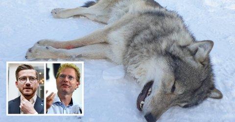 VIL IKKE SKYTE ULVEN: Klima- og miljøminister, Sveinung Rotevatn (V), vil ikke overprøve Miljødirektoratets avgjørelse, og sier nei til felling av Elgå-ulven. Det er stortingsrepresentant Tor André Johnsen (Frp) mindre fornøyd med. Foto: Miljødirektoratet / Statens naturoppsyn, Terje Pedersen / NTB scanpix, Anita Høiby Gotehus