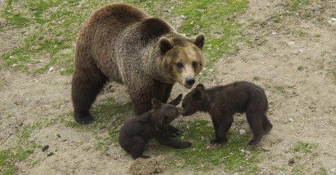 Nye medlemmer: Bjørnene er blant dyrene i parken som har fått nye medlemmer i flokken. Her er binnen med to av sine tre unger.