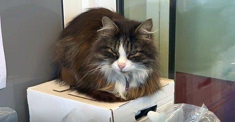 Simba har funnet seg godt til rette hos Bunnpris Stortua. Nå ønsker matbutikken og eieren hans at folk ikke skal fortsette å mate katten.