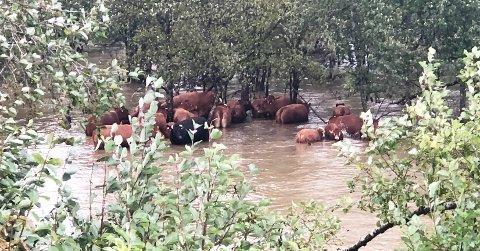 FANGET: Her er en gruppe kyr fanget i vannmassene. Bergingsmannskaper jobber på spreng for å redde dyrene.
