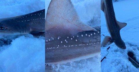 HAI: Håvard Knudsen dro opp denne haien i Yrkjefjorden.  Foto: (privat/Fiskeavisen)