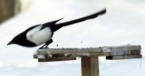 Skjære som koser seg på fuglebrettet. Foto: Brynjar Eidstuen.