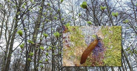 Angrepet: En brunskogsnegle fotografert på en bøkestamme med mørke flekkar i barken, et typisk symptom på Phytophthora-angrep. Foto: Terje Svendsen/Kari H. Telfer
