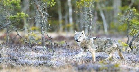 Naturfotograf Øystein Søbye var på orreleik på ei myr i Sørum i 2013 da en ulv plutselig dukket opp. Det er ikke mye på hans turer i skog og mark som overgår den opplevelsen. Foto: Øystein Søbye