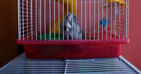 Det kan svindels med det meste, åpenbart også hamstere. En kvinne fra Kristiansund er tiltalt for hamstersvindel.