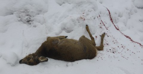 Drept: Dette rådyret ble angrepet og revet ihjel av en kraftig harehund (en Hamilton støver) ved Holte sist lørdag. Rådyret var et fjorårskje, og var derfor ikke stort. Hunden klarte å slepe med seg rådyret et stykke på snøen. Foto: Kåre Sander Nilsen