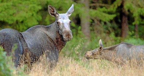 Skogens konge er et populært byttedyr for ulven. Én ulveflokk feller minst 100 elg årlig, uavhengig av størrelse. Det går hardt utover bestanden i ulveområdene.
