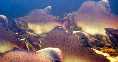 SLIK SER RUSSERLAKSEN UT OM EN MÅNEDSTID: Pukkellaks i Vestre Jakobselv. Bildet er tatt rundt 2011, men i år frykter Naturtjenester i Nord at det kommer enda mer pukklaks opp i elvene i Finnmark og resten av landet.
