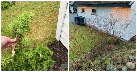 Knekte hekkeplanter (t.v.) og julebelysning som er blitt revet ned. Beboerne på Ekholt er ikke fornøyde.