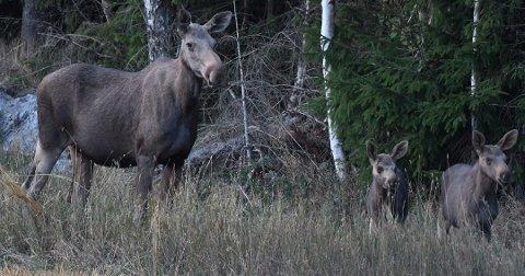 ILLUSTRASJON: Fra og med onsdag kan Vestbys jegere felle elg.