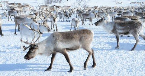 NYTT TAP: Vinterflokken til tamreinlaget i Lom. Til sammen 21 dyr er tatt av snøskred i vinter.