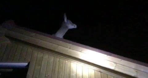 PÅ TAKET: Hjorten satt på taket og så på utsikten da familien kom ut av hytta.
