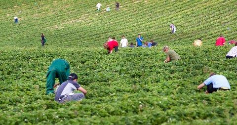 Arbeidstilsynet har ikke mulighet til å gripe inn mot jordbærbønder som betaler for lite. På bildet ser vi jordbærplukkere ved Egge Gård i Lier.
