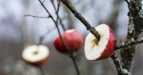 EPLETRE: Gammel frukt kan tres inn på greiner og tiltrekke seg blant annet trost og sidensvans.