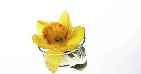 Spørsmål4: Hva er en Narcissus pseudonarcissus?