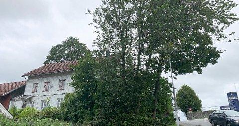 BER PENT: Det er disse trærne naboene ber pent om å få fjernet på Kirkehaugen.