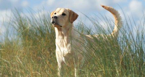 Hunder og andre kjæledyr bør sjekkes for flått hver gang de har vært ute i naturen.