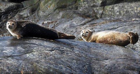 Sel ved Torbjørnskjær: Disse steinkobbene er fotografert i Ytre Hvaler nasjonalpark i  fjor. Nå viser nye undersøkelser at seler i Oslofjorden kan forflytte seg over store avstander. (Arkivfoto: Øivind Lågbu)