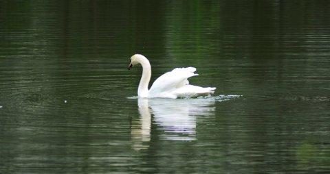 Her er svanen i sitt rette element.