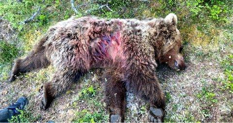 Denne bjørnen ble skutt i Vågå i starten av juni.