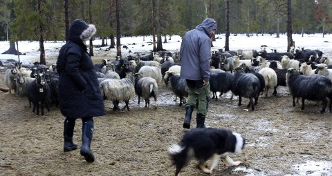 1: Loreta Drejere (41) og Simonas Drejeris (41) fra Litauen kjøpte Kvalpskarmo gård i Susendal for 2,9 millioner kroner, Gården er på 398 dekar, og inkluderer våningshus, fjøs, redskapshus, hytte, skogshytte og uthus.
