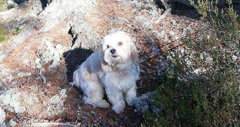 BORTFØRT: Dette er hunden som ble bortført fra Sæter om kvelden lille julaften.
