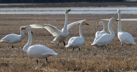 Østlendingen - Flere hundre svaner sang våren inn