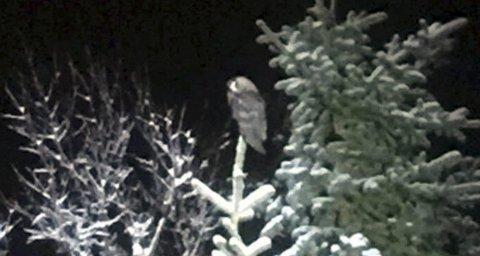DETTE ER UGLEN: Denne fuglen skal normalt sett ikke være så langt nord som dette man antar er en Hornugle. Nå håper fugleforskerne på at den finner seg nok å spise gjennom vinteren. Foto: Tor Vidar Rismo