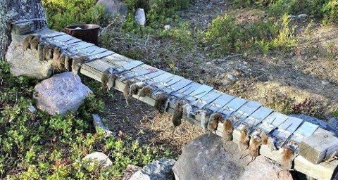 GIKK I FELLA: Her er litt av musefangsten til forsker Jørund Rolstad ved Norsk institutt for skog og landskap på Ås. På bildet er nærmere tretti enkeltfeller satt sammen.Foto: JØRUND ROLSTAD