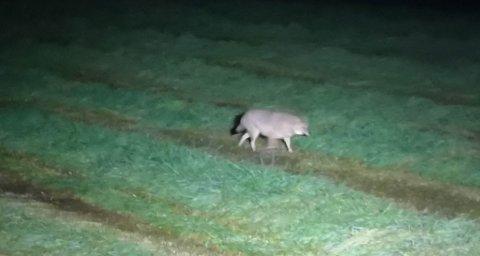 SVÆRT SJELDEN GJEST: Gullsjakalen ble observert på et jorde i Lakselv i 2019. Bonde Robert Severin Pedersen tok et bilde av rovpatterdyret i høstmørket fra traktoren.